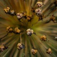 Вселенная  в каждом цветке... :: Александр Белый