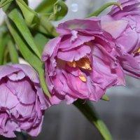 Тюльпаны :: Татьяна Ларионова