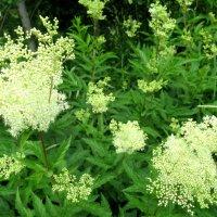 Цветет таволга - лето в пене белых кружев :: Елена Павлова (Смолова)