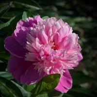 Расцвел в саду пион :: lady v.ekaterina