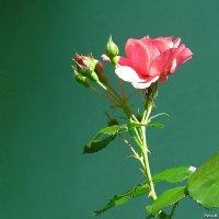 Роза с бутонами :: Маргарита
