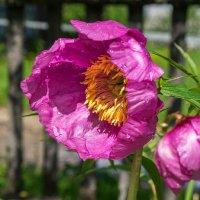 В Коми начался период цветения одного из символов региона, чуда природы Севера - пиона уклоняющегося :: Николай Зиновьев