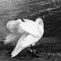 Лебеди :: Liudmila LLF