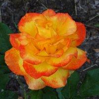 Роза необычной расцветки :: Татьяна Р
