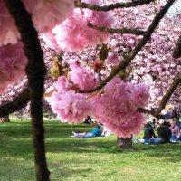В тени сакуры цветущей) :: Iren Ko