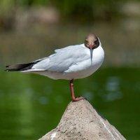 Озерная чайка. :: Валерий Шурмиль