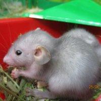 Малыш голубой крысы. :: Зинаида