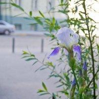 цветок на асфальте :: Бармалей ин юэй