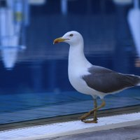 Чайка у бассейна :: Любовь