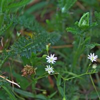 Белые цветочки :: Татьяна Са