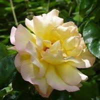 Роза :: Лидия Бусурина