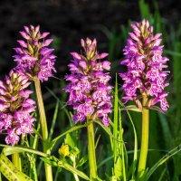 На Севере началось цветение северной орхидеи-Ятрышника пятнистого,знаменитые кукушкины слезки :: Николай Зиновьев