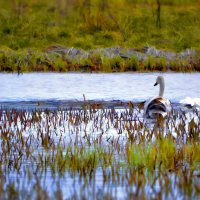 Из жизни лебедей (рис.) :: Глeб ПЛATOB
