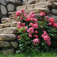 Розы против камня :: Андрей Симонов