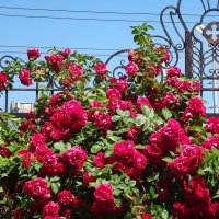 Плетистая роза :: Наталья Красильникова