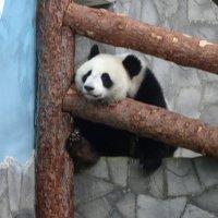Панда :: Наташа