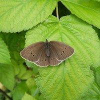 Глазок цветочный-дневная бабочка из рода семейства бархатниц. :: Люба