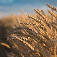 Пшеница :: Евгений Воропинов