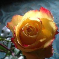 Розы...розы :: Татьяна Юрасова