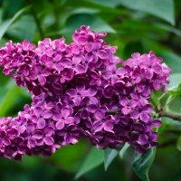 «…Четырехгранною звездой  Он в гроздьях лиловел. …» :: Андрей Нибылица