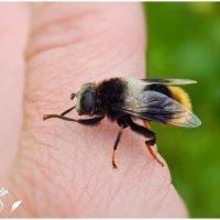 Цветочная муха шмелевидка!  ... (мимикрия) ) ) :: Елена Хайдукова  ( Elena Fly )