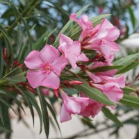 Олеандры цветут :: Наталия Григорьева
