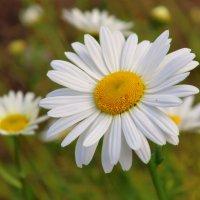 Ромашка - символ семьи, любви и верности ! :: Нина северянка