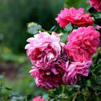 Любуйтесь, как я на плетистые розы.. :: Nina Karyuk