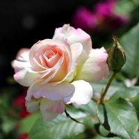 Розовая нежность :: Nina Karyuk