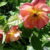 Чайная роза . :: Мила Бовкун