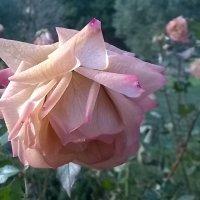 Розы и морозы :: Tanja Gerster