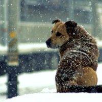 пес и снег :: Алексей Астафьев