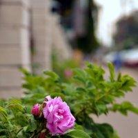 Городские цветы :: Кулага Андрей Андреевич