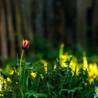 Красно жёлтый тюльпан :: Анатолий Нецепляев