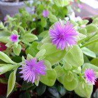 Мои цветочки. :: Алексей Кузнецов