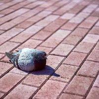 От жары голуби тают :: Владислав Левашов
