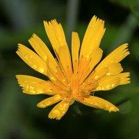 цветок IMG_9966 :: Олег Петрушин
