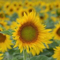 Sunflowers time... :: Lyudmyla Pokryshen