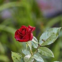 Роза. :: Виктор Шпаков
