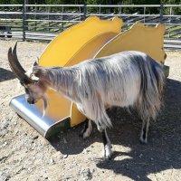 Идет коза рогатая :: veera (veerra)