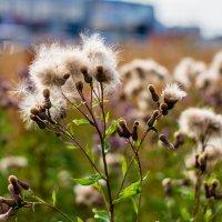 Трогательная красота простых полевых растений. :: Виктор Орехов