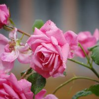 Розовые розы :: * vivat.b *