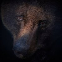 Бурый медведь :: Владимир Шадрин