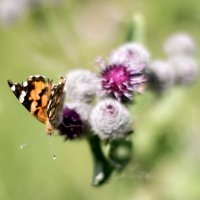 Бабочка и репейник :: Лидия Суюрова