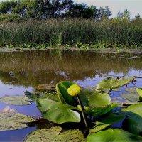 Цветок на болоте :: Геннадий Худолеев