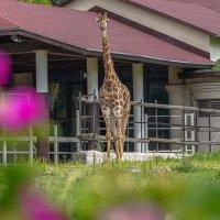 Южноафриканский жираф :: Владимир Жданов