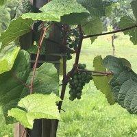 А вот и виноград! :: Светлана Ященко