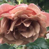 Любимая роза. :: Светлана Ященко