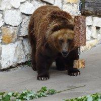 Бурый медведь :: Наташа