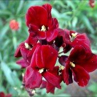 Неизвестные цветы из нашего двора :: Нина Корешкова